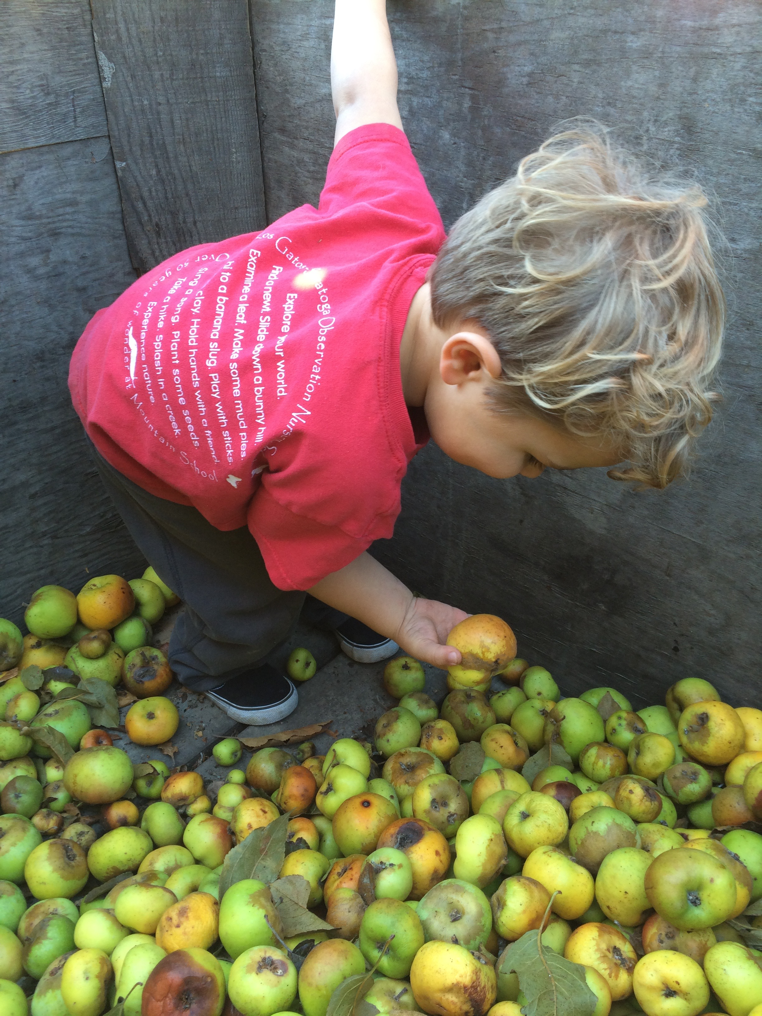 Grading apples in the orchard