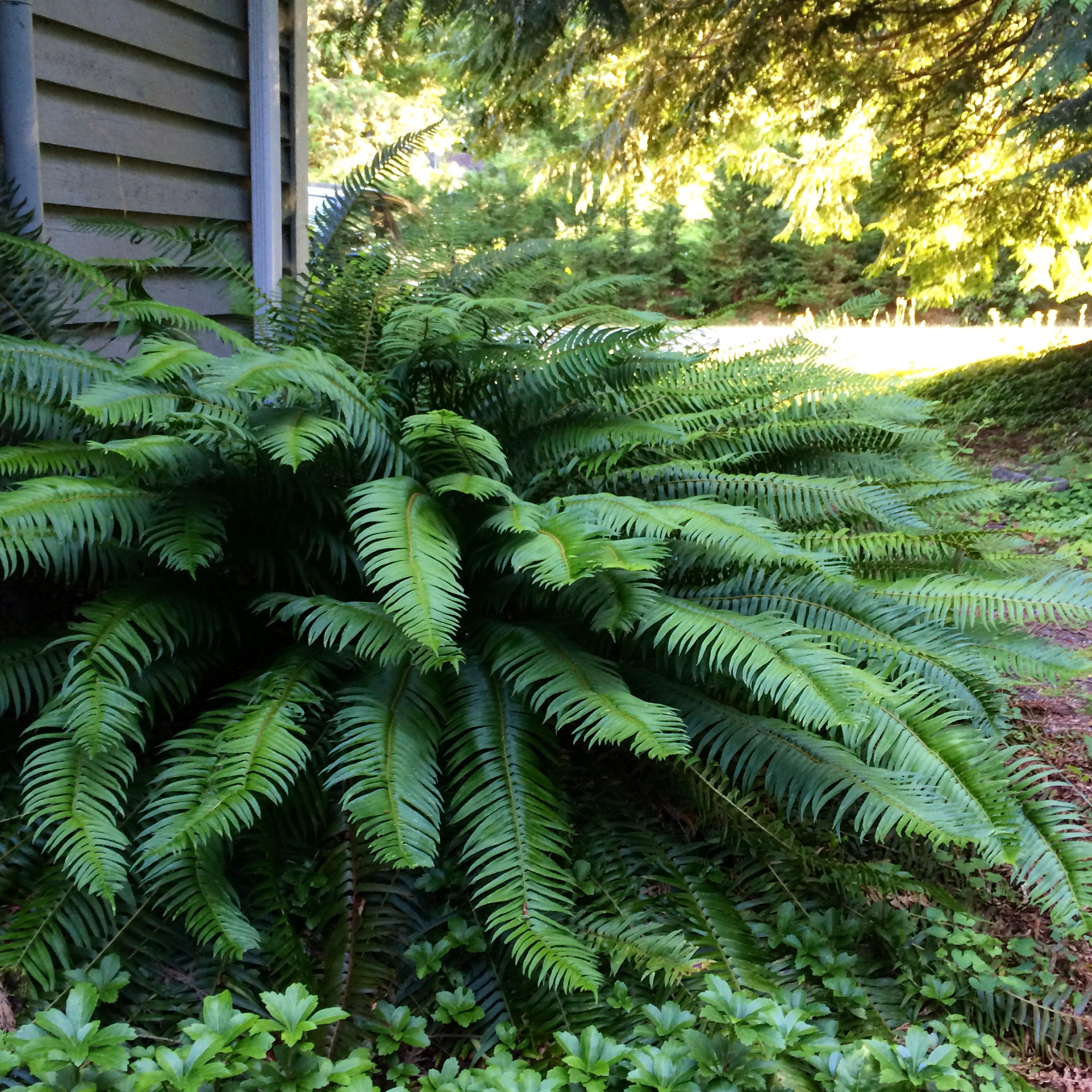 This is Big Bertha. She's my favorite fern. Just please don't tell my other ferns. #crazyfernlady