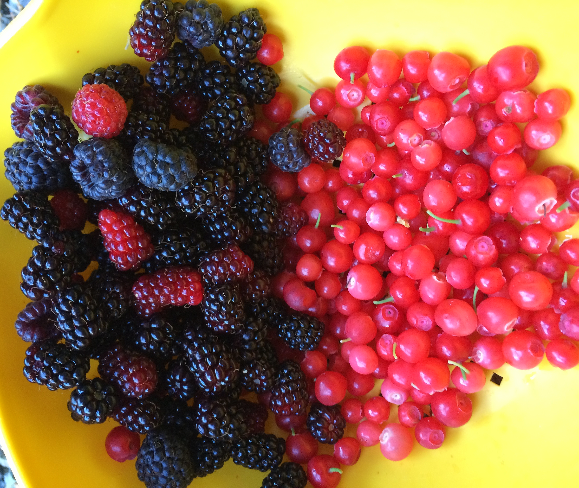 A couple thimbleberries, marionberries and red huckleberries fresh from our yard.