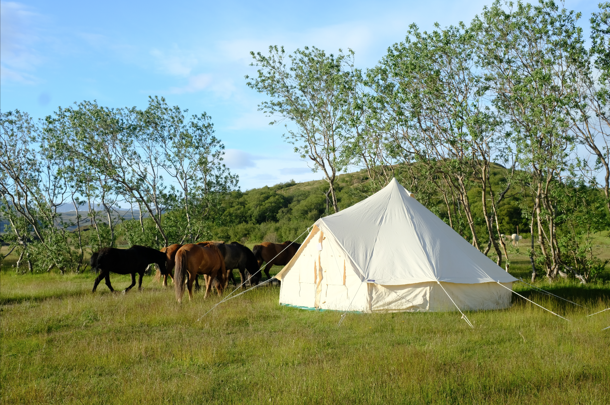 Our glamping tent with the Icelandic horses doing their daily lawn mowing.