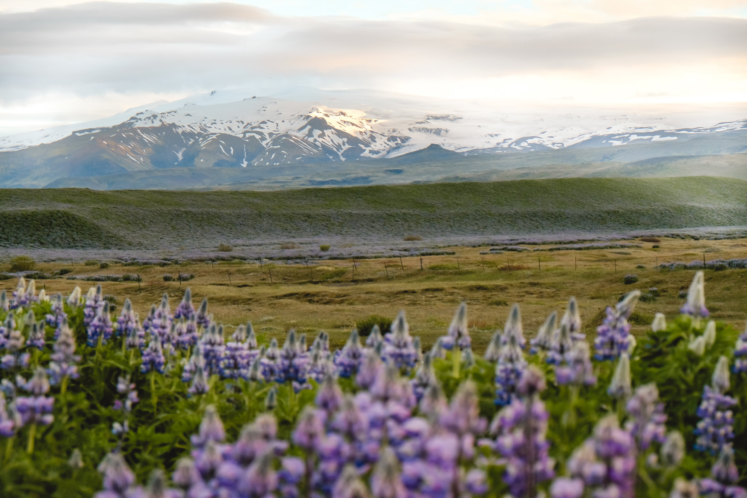Lupine on the road to Vik