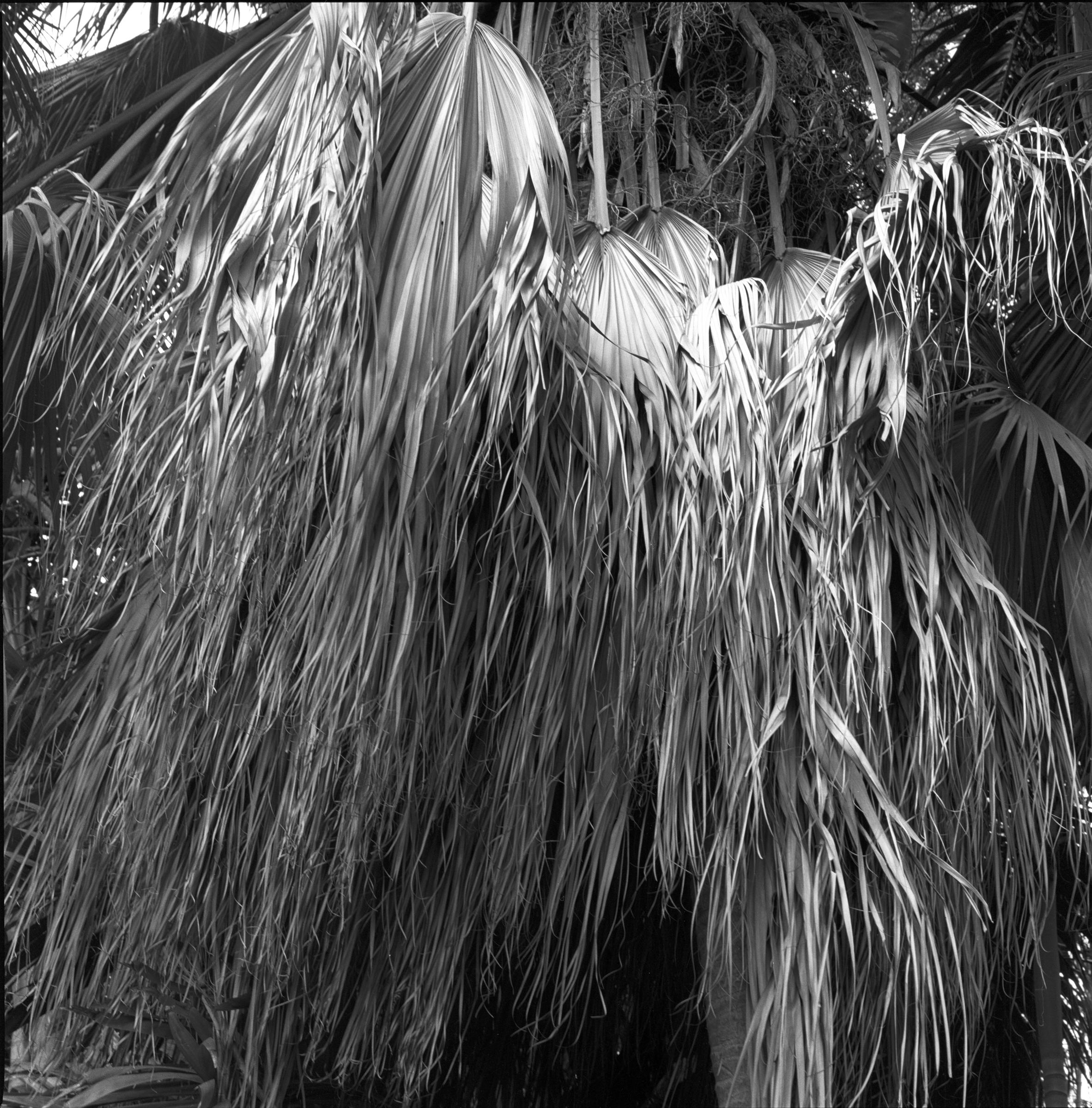palmfronds2005.jpg