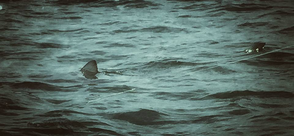 Manolin Boated over 100 Sharks Last Season!