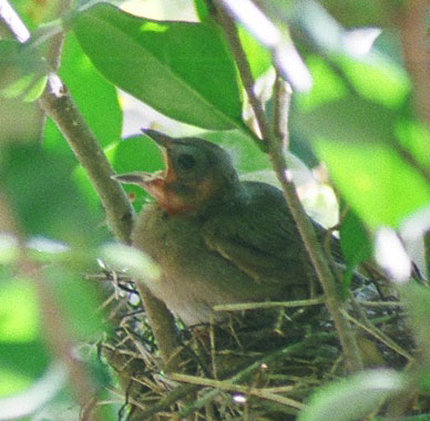 The activity around the nest lasted all day long. Mama would hunt for food while Daddy stood guard, then they'd switch. But all day long, from morning to night, the mama and daddy brought the babies food. Is this just so sweet?