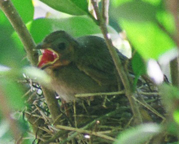 I'd never seen a baby bird being fed, but the mama and daddy both feed the chicks and they push their beaks waaaaaay down the babies' throats. I was so surprised. I couldn't get a good shot of that, though, because there was this leaf right in the way! :(