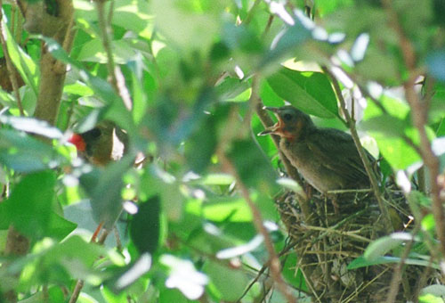 Do you see the mama bird on the left? Look for her orange beak.