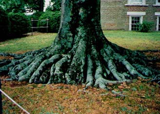 Here are the roots of that same tree. I had Sally balancing herself on one root before jumping to the next.