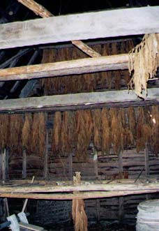 Here is some tobacco whose stalks have been impaled onto slender sticks and hung head down across beams in the ventilated tobacco barn to wilt and cure.