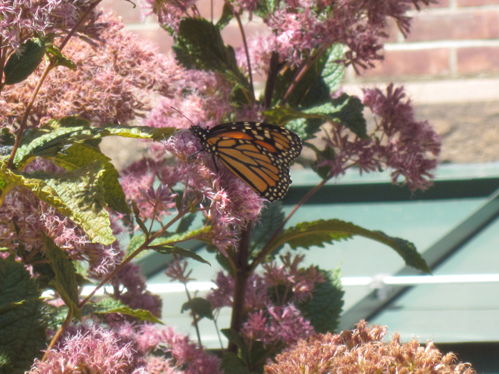 Monarch butterfly with Asclepias