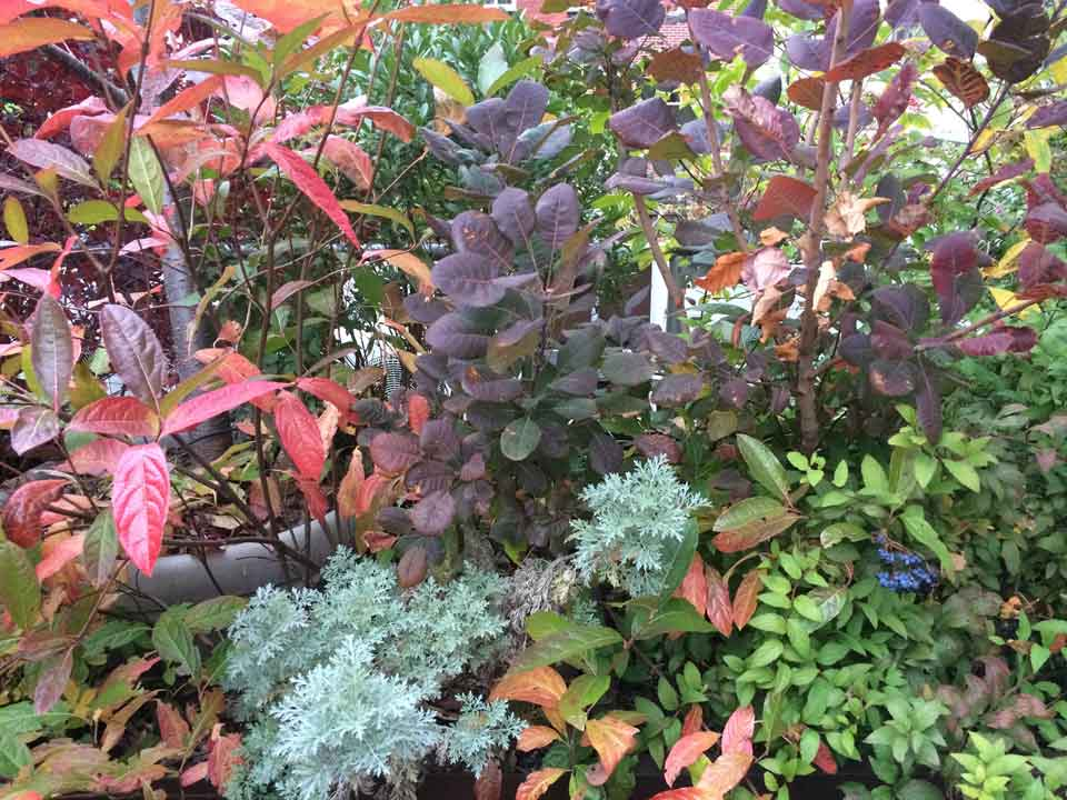 The wine red leaves to the left are the Viburnum. They are flanked by Cotinus and Artemisia. From a roof garden planting I designed.  photo: ©toddhaiman2014