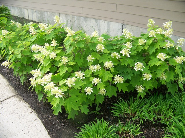 """""""Sykes Dwarf"""" is a Hydrangea quercifolia cultivar that grows to 3-4' at maturity. """"Munchkin"""" and """"Ruby Slippers"""" are two other cultivars we have used in our small garden designs."""
