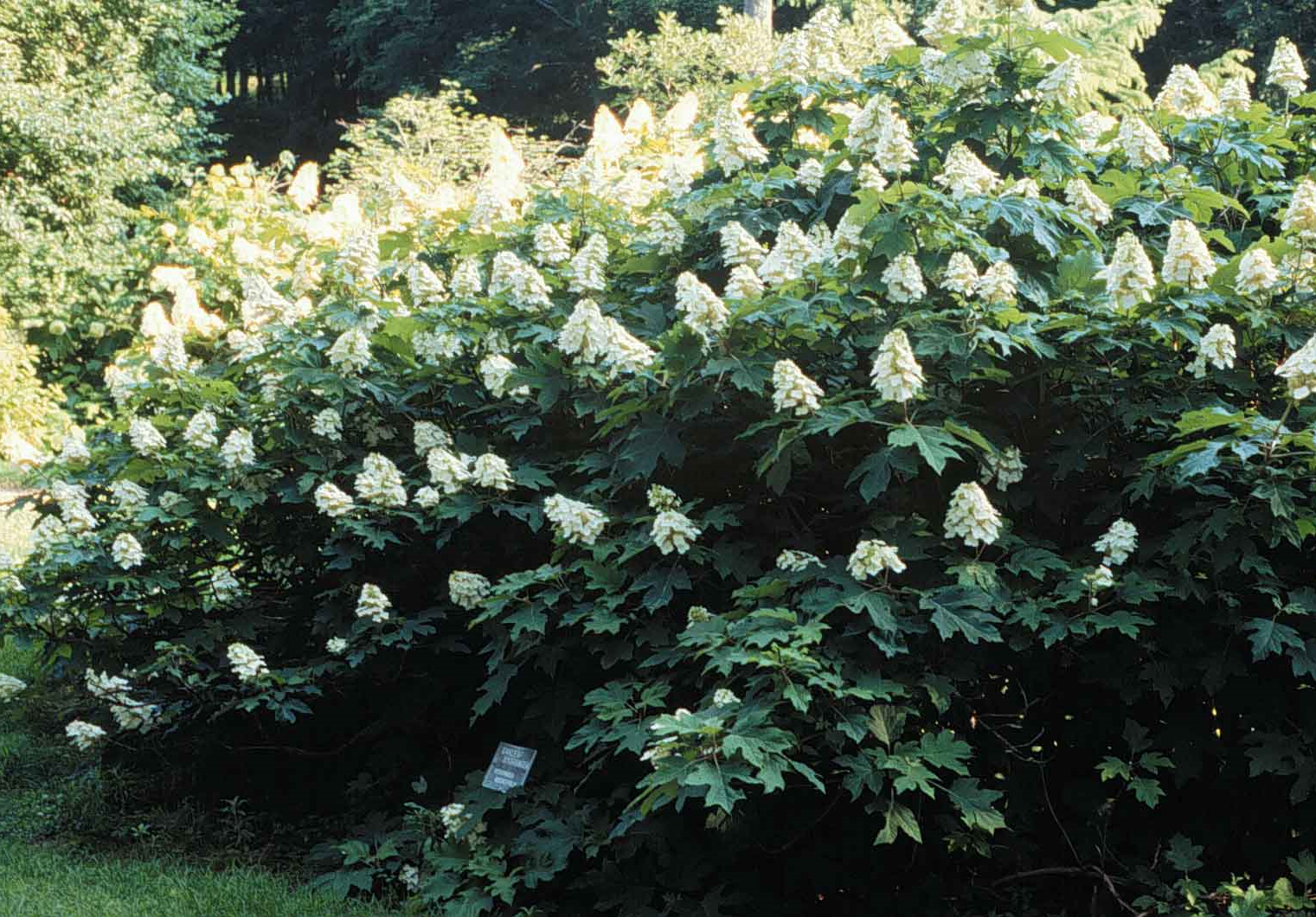 Straight species Hydrangea quercifolia grows to 6-8ft wide and 4-6 ft high at maturity.