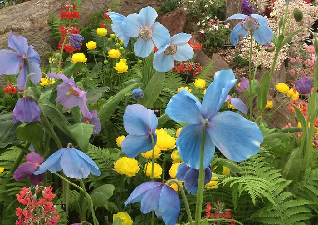 "Photo of Himalayan blue poppy (Meconopsis grandis) at Chelsea Flower Show 2016. ""A mystique has evolved around blue flowers over centuries, with searches for the legendary blue rose appearing both in Slavic myths and Chinese folk tales."" -WSJ 6.2.2010 photo©ToddHaimanLandscapeDesign2016"