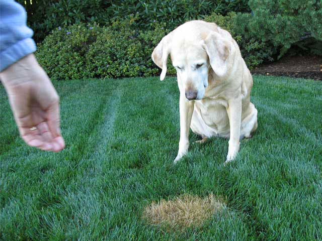 Solving The Problem of Dog Urine Spots on Lawns