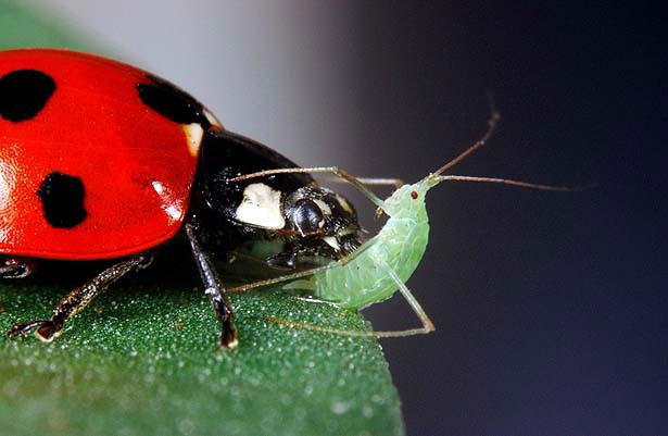 Ladybug (lady beetle) eating an aphid.    photo by thestar.com