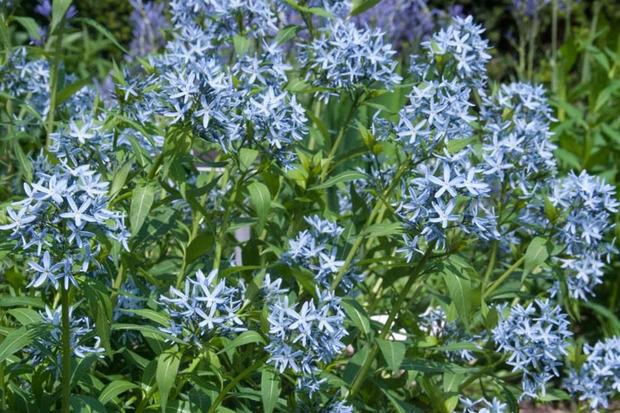 Arkansas blue star