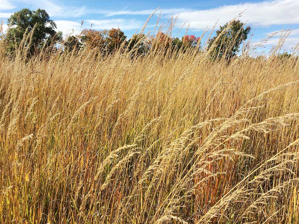 Native prairie grasses can be used in a low maintenance residential garden. Be sure to plant in full sun.
