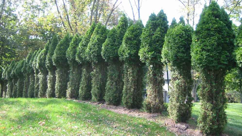 """A common site in suburbia. This is the plant you do not want to plant in an area browsed by deer. Unless of course you appreciate this """"topiary."""""""