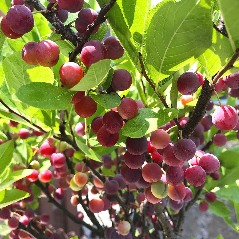 Plums+in+kitchen+garden.jpg