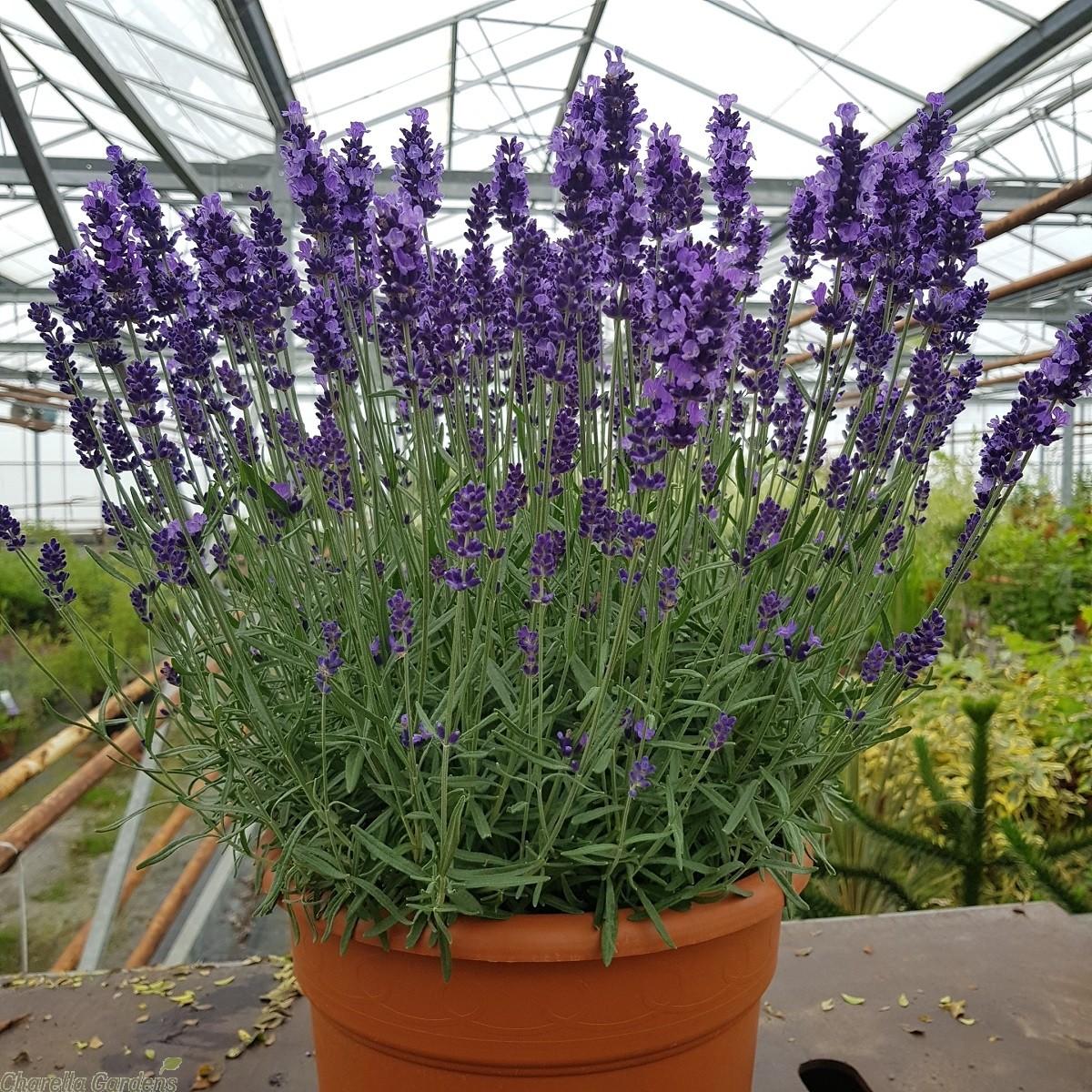 large_lavender_plants._lavender_angustifolia_hidcote_3__1.jpg