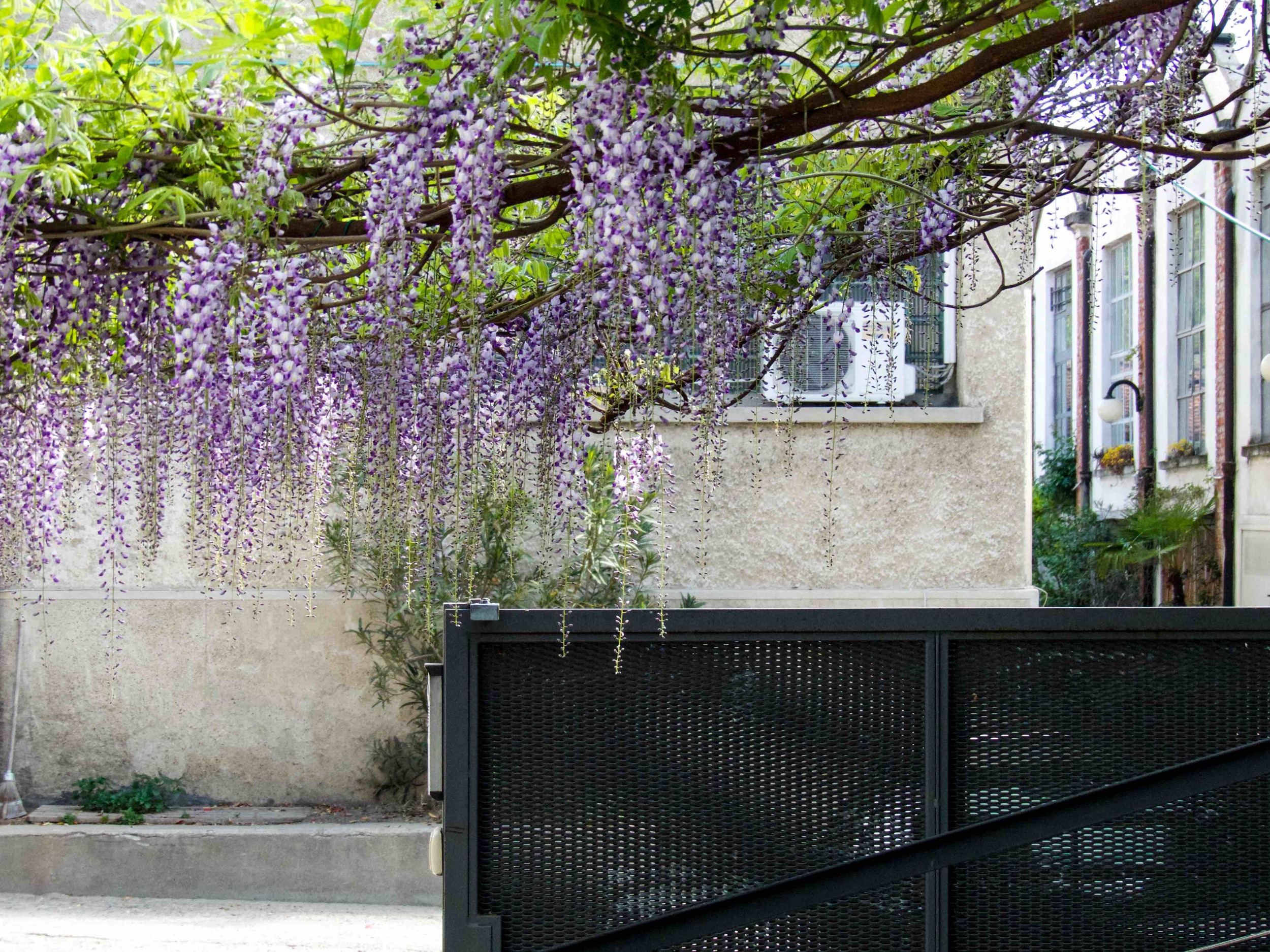 Spring in Milan is beautiful. I especially adore these flowers called Glicine. Not only they look amazing, they make the entire neighborhood smells heavenly, too.