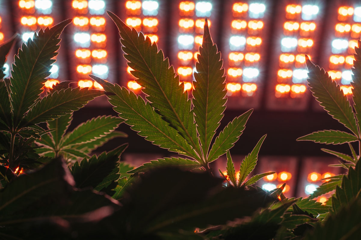 Las plantas de cannabis creciendo bajo los leds de Evergrow. Fotografía de Ian C. Bates para The New York Times.