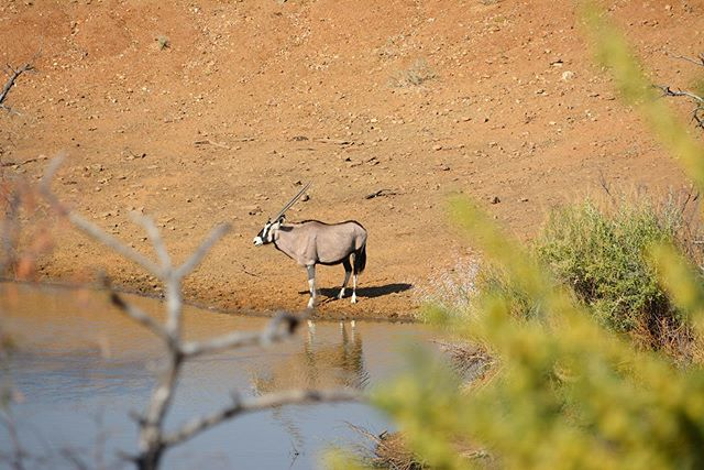 #oryx at the watering hole! Beautiful morning here in 🇳🇦 • • • @zannierhotels #safari #namibia #travel #africa #wildlifephotography #travelgram #nikon #wildlife_shots