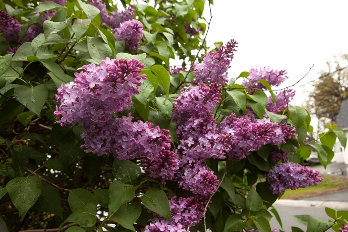 pruning-lilacs