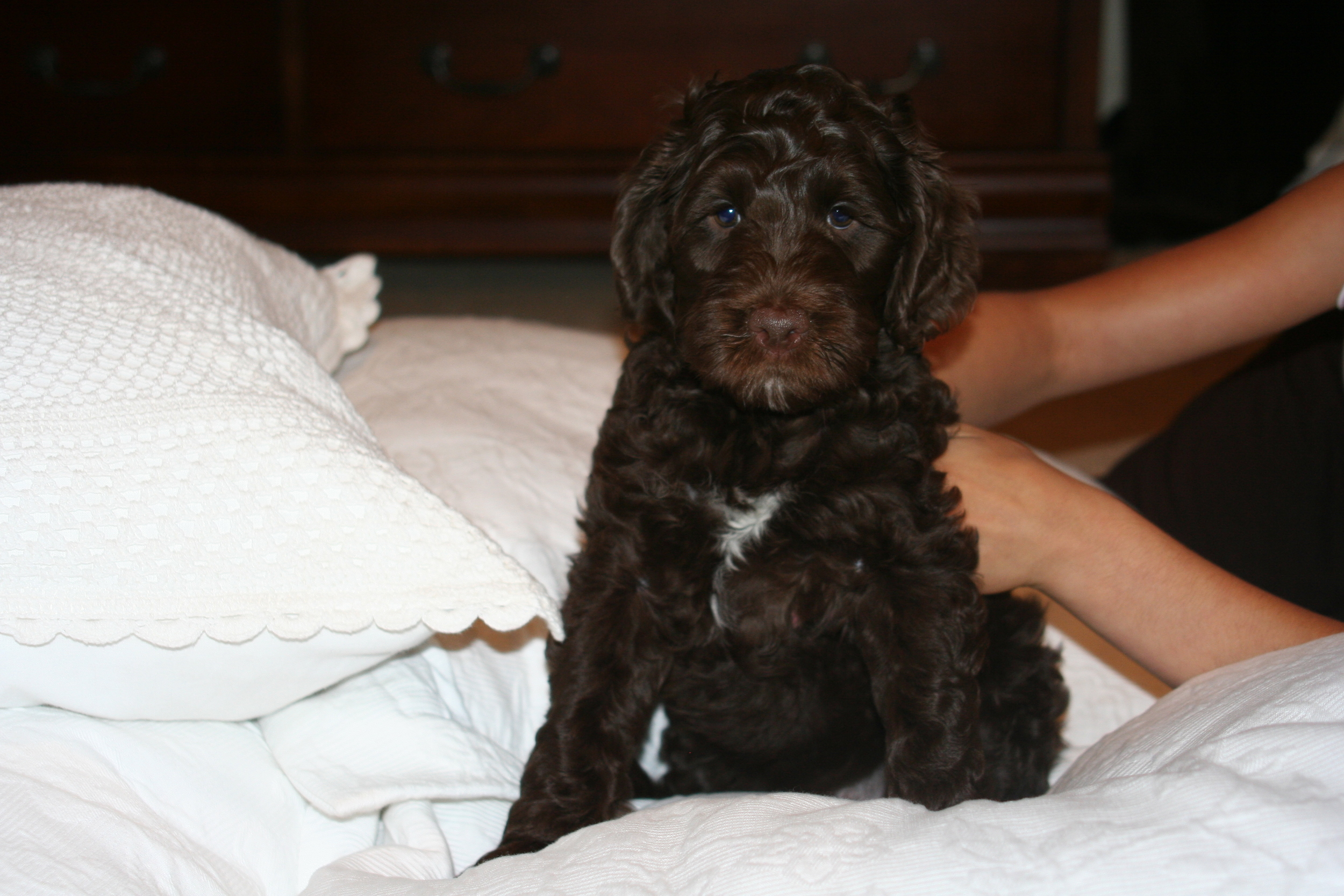 Our first Multi-Generation Australian Labradoodle