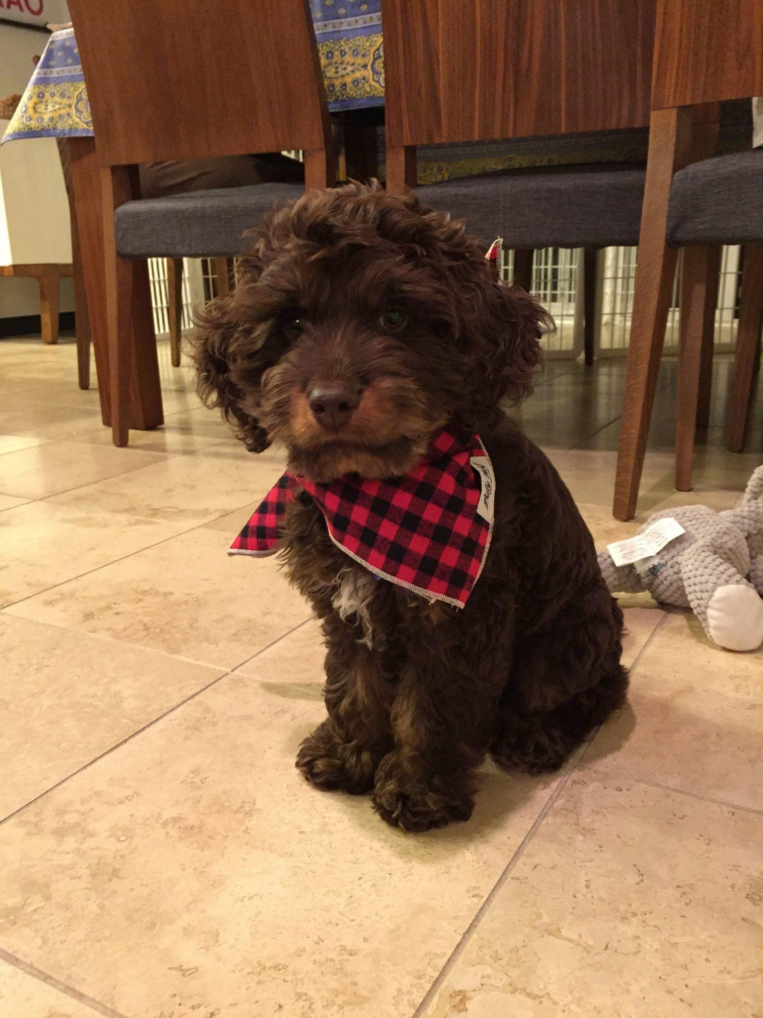 www.SugarPineDoodles.dog