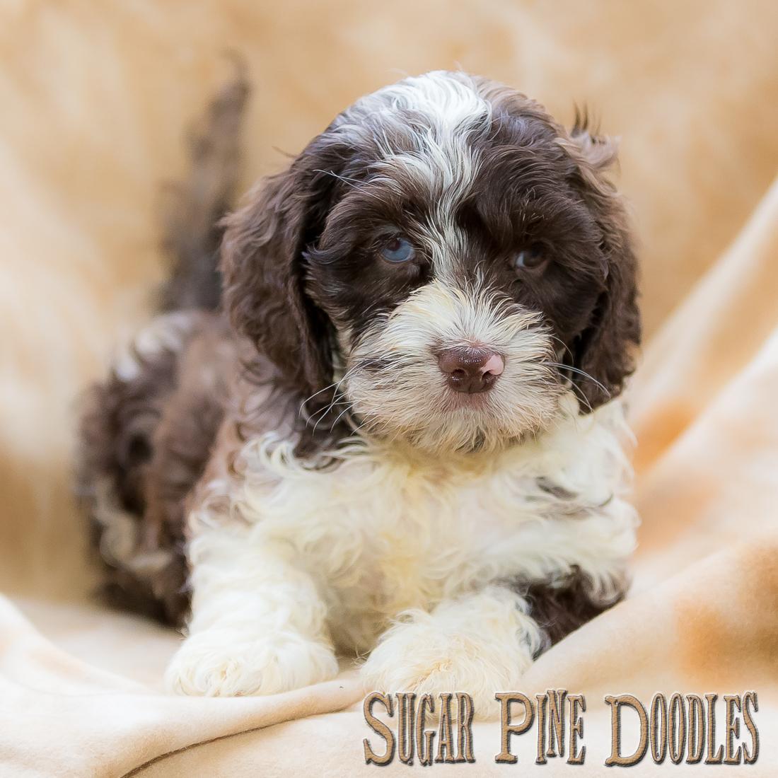 Chocolate Parti Australian Labradoodle Puppy