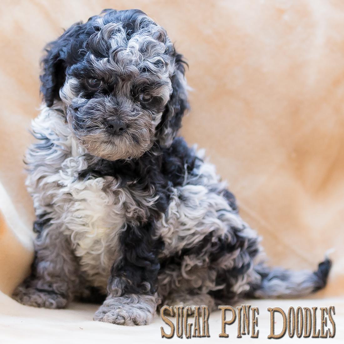 Blue Merle Australian Labradoodle Puppy