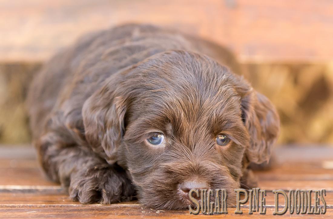 Chocolate Australian Labradoodle Puppy