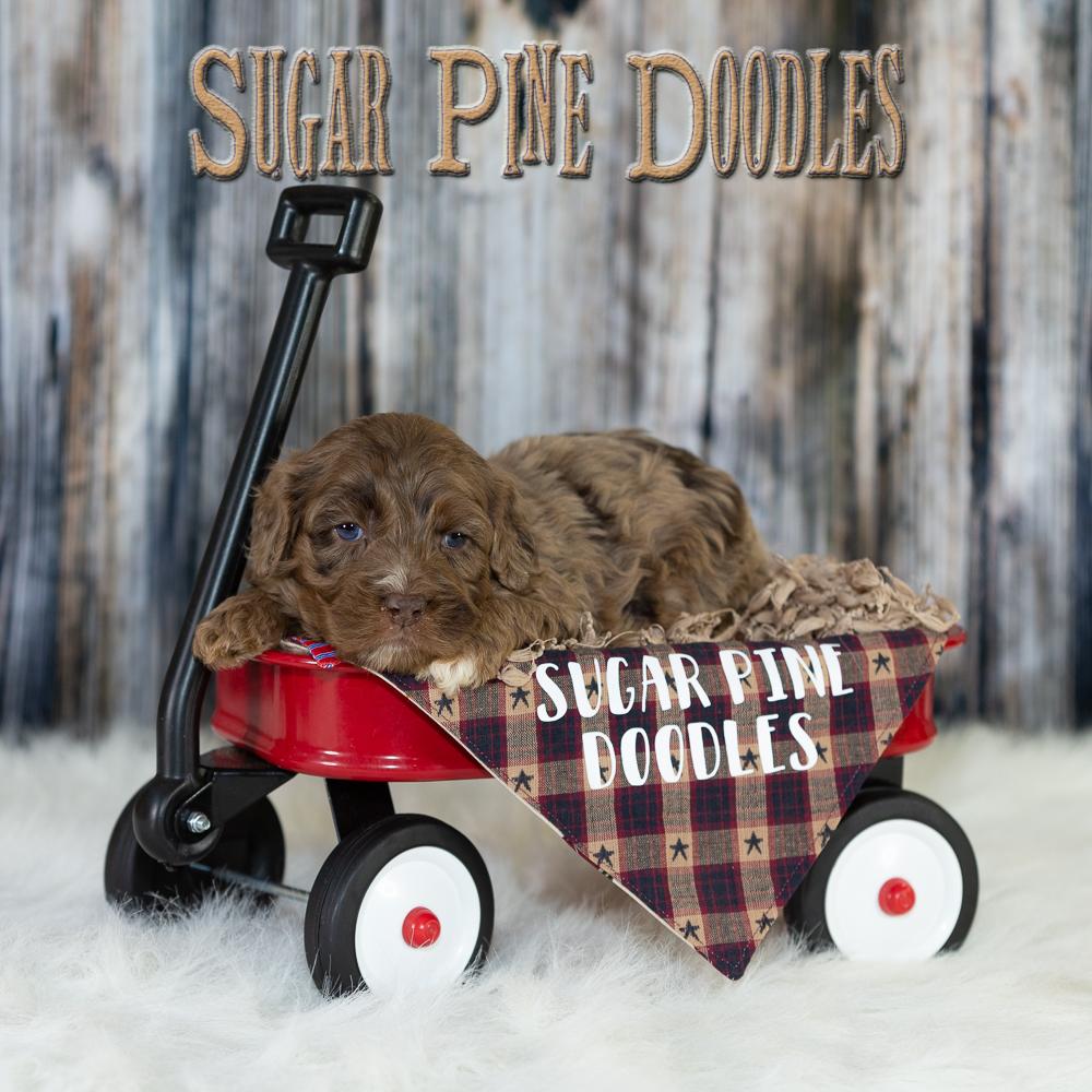 sugarpinedoodles_20181101_AN1Y0521.jpg