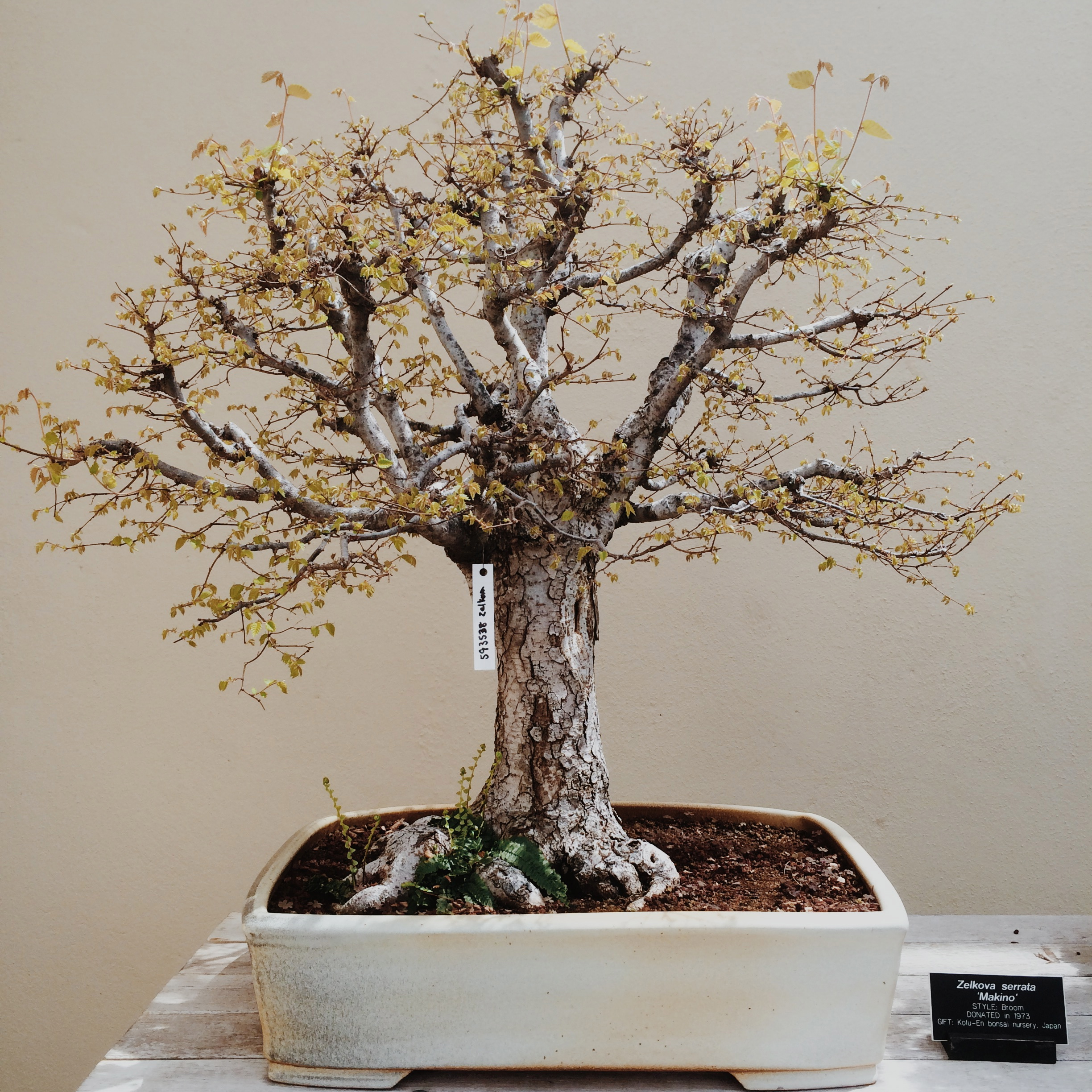 zelkova serrata 'makino'. the scale of this tree is perfect: tiny leaves to go with the tiny trunk and branches. some of the other bonsai have normal-sized leaves on miniature trunks, which is just not as impressive.