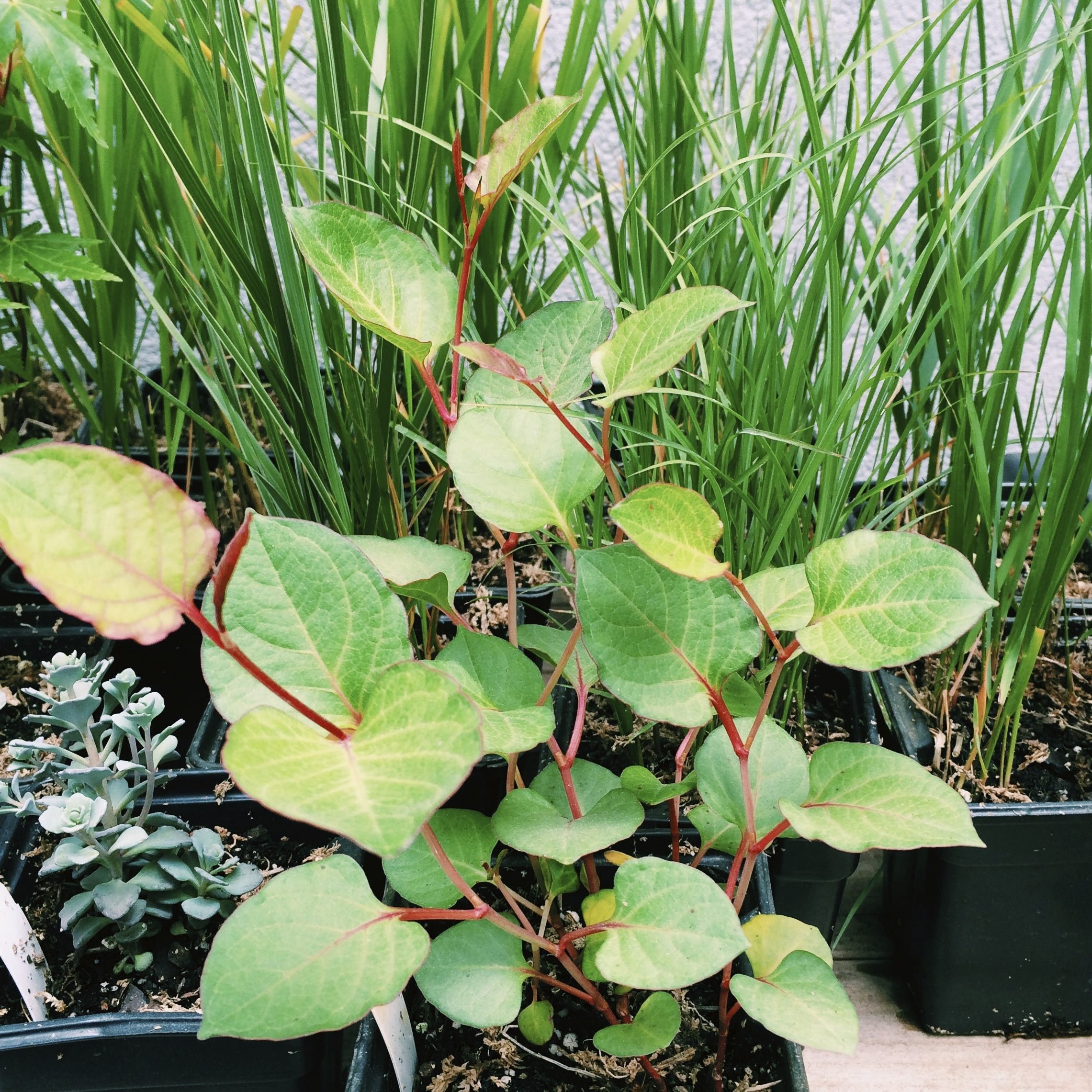 the dwarf japanese knotweed will have clusters of pink flowers in the summer.