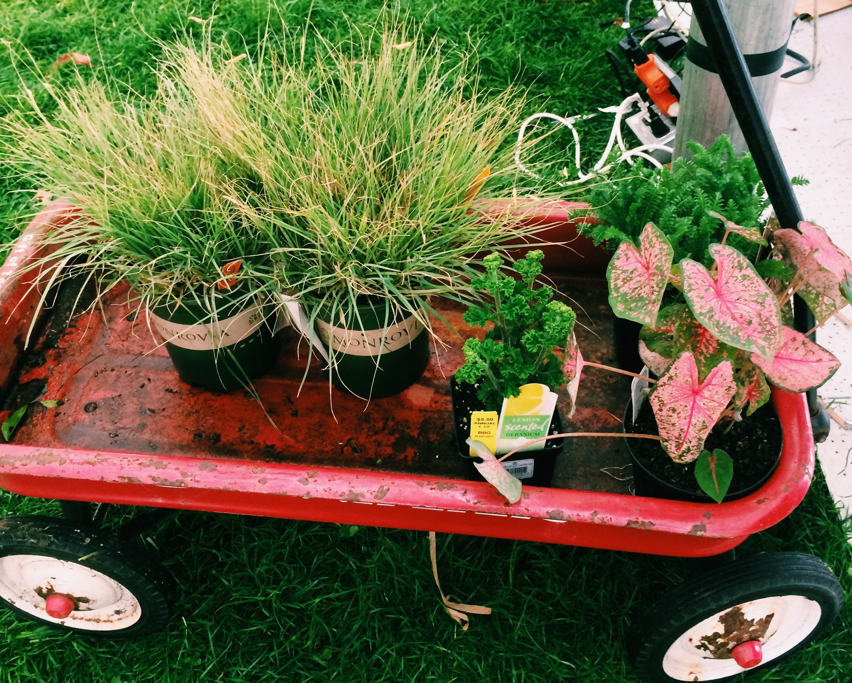 my little red wagon of plants: blue grama grass, coleus, lemon-scented geranium, and yarrow.