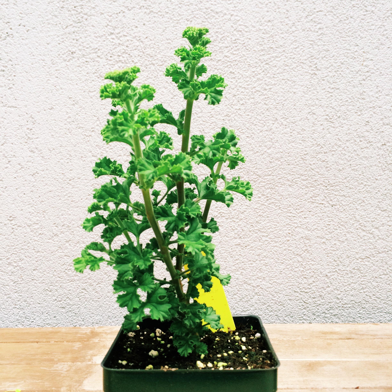 this geranium is deliciously lemony.