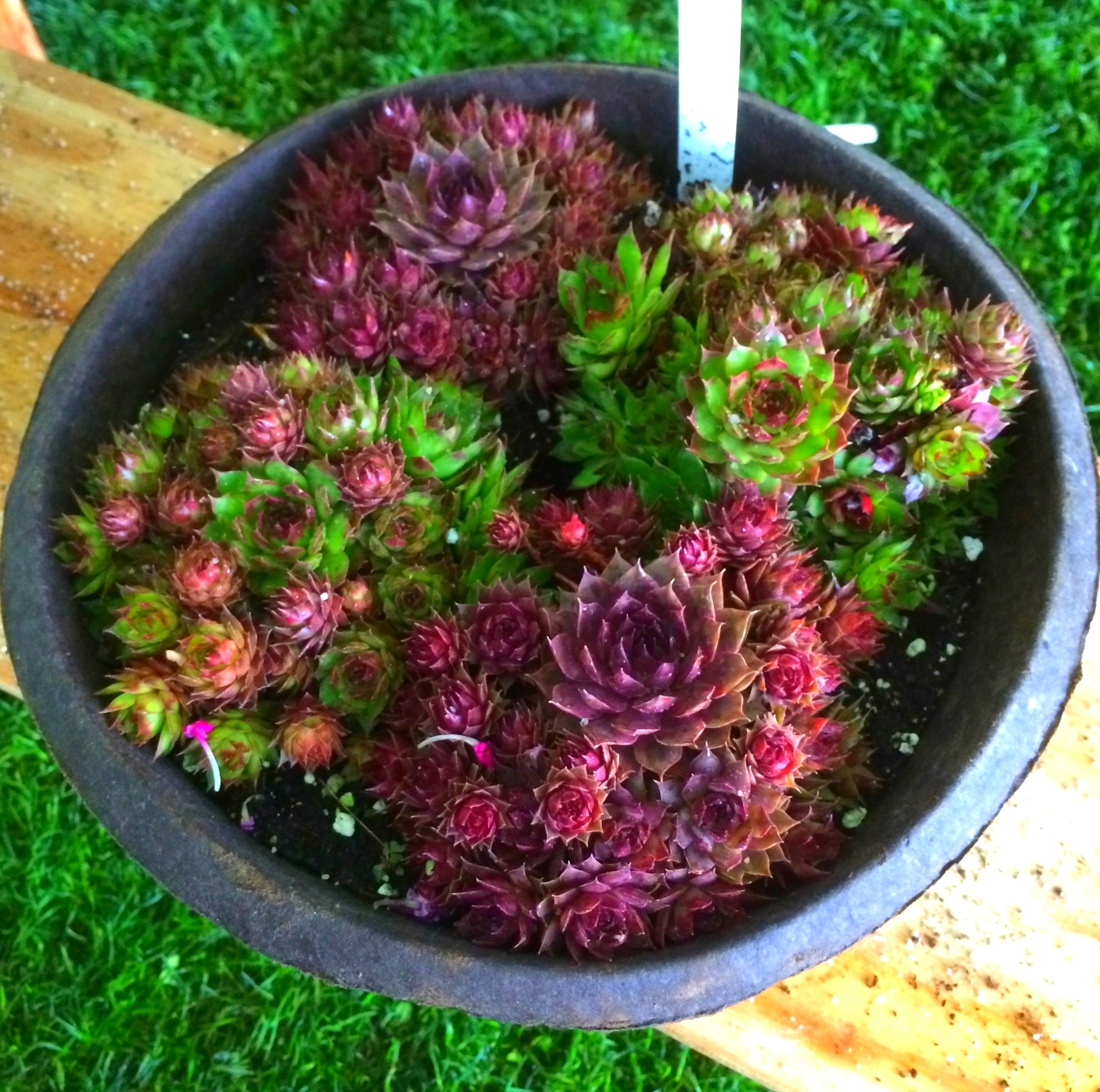 a big bowl of hens and chicks.