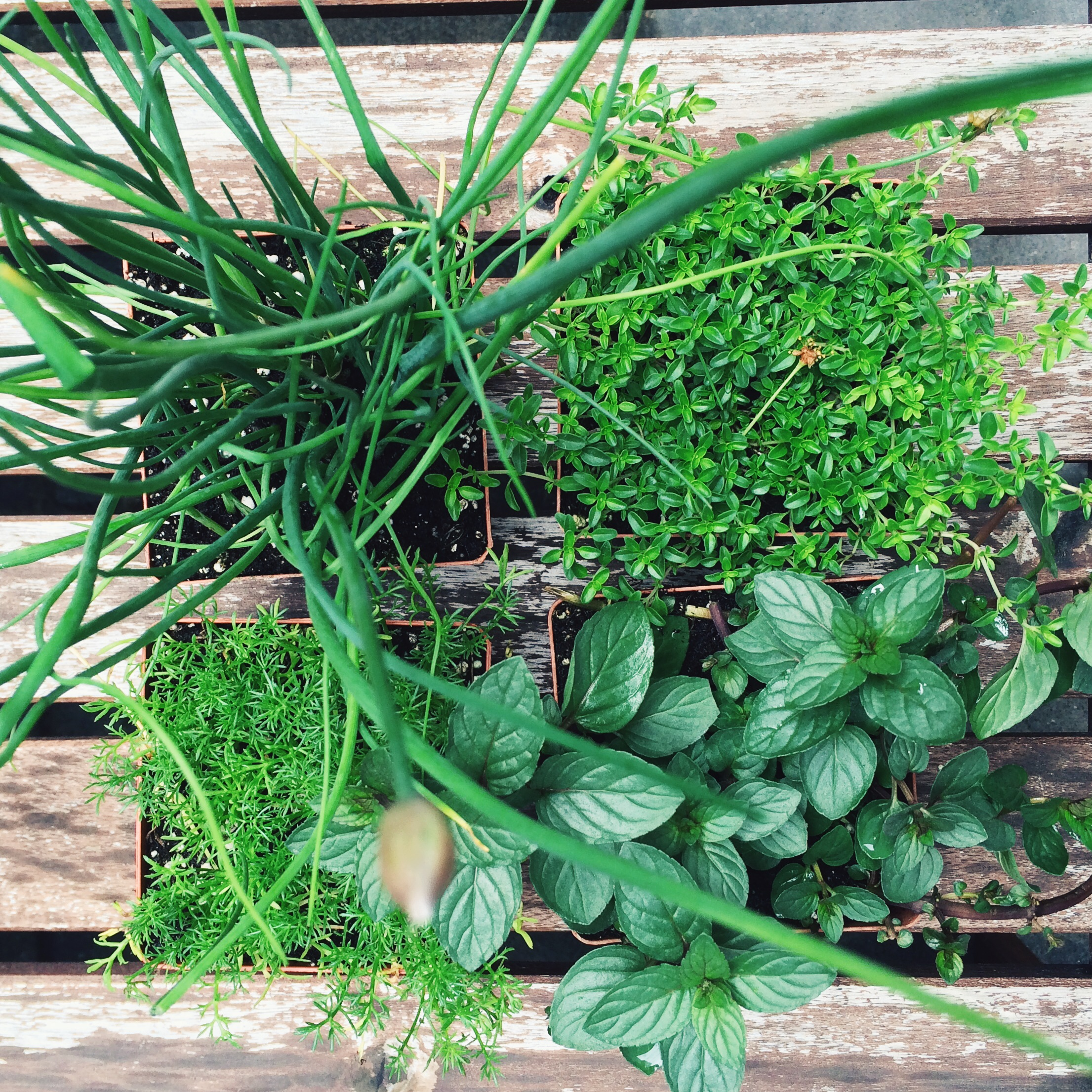 clockwise from upper left: chives, thyme, chocolate mint, and chamomile.
