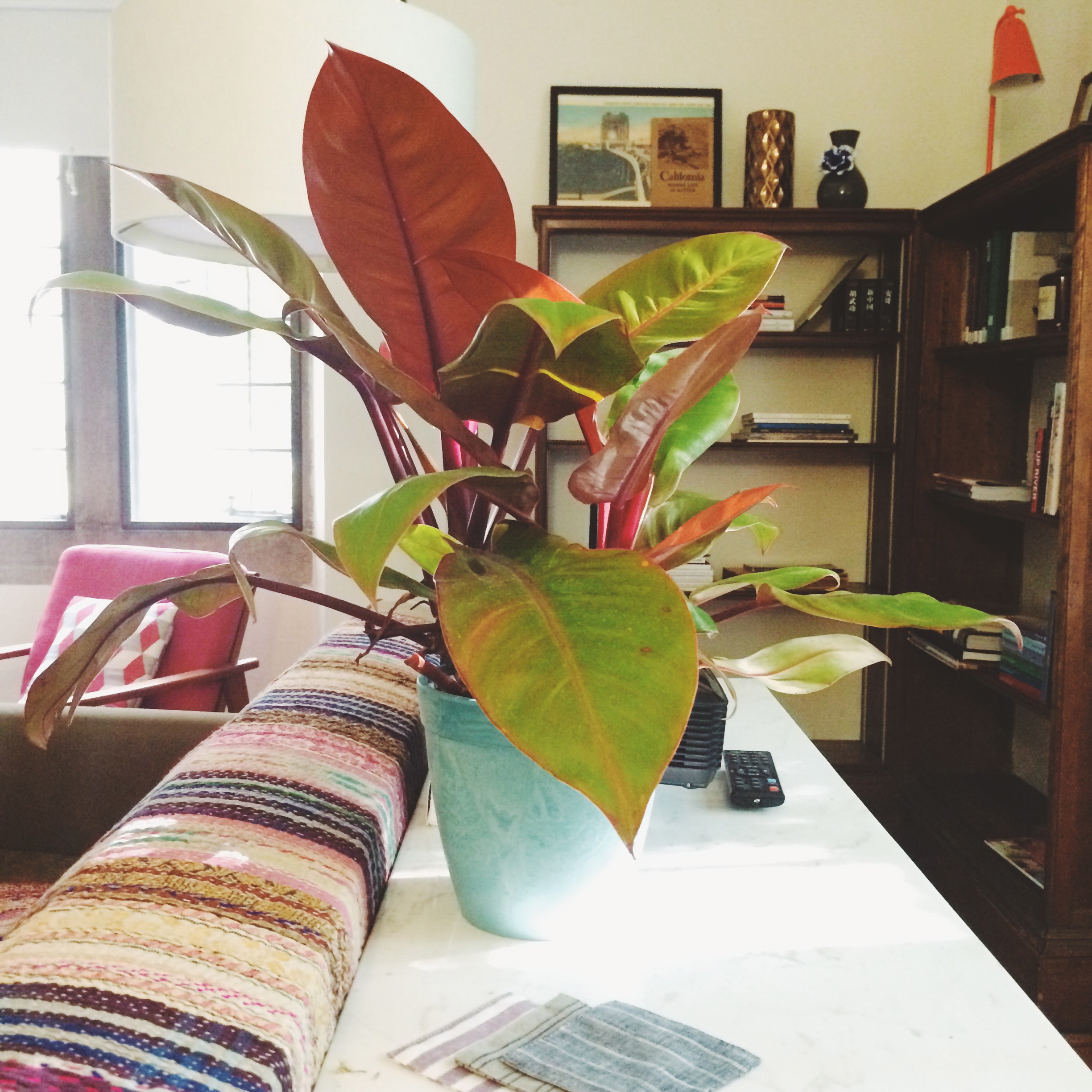this is phil the philodendron. we got him at the greenhouse at  adam's fairacre farms .