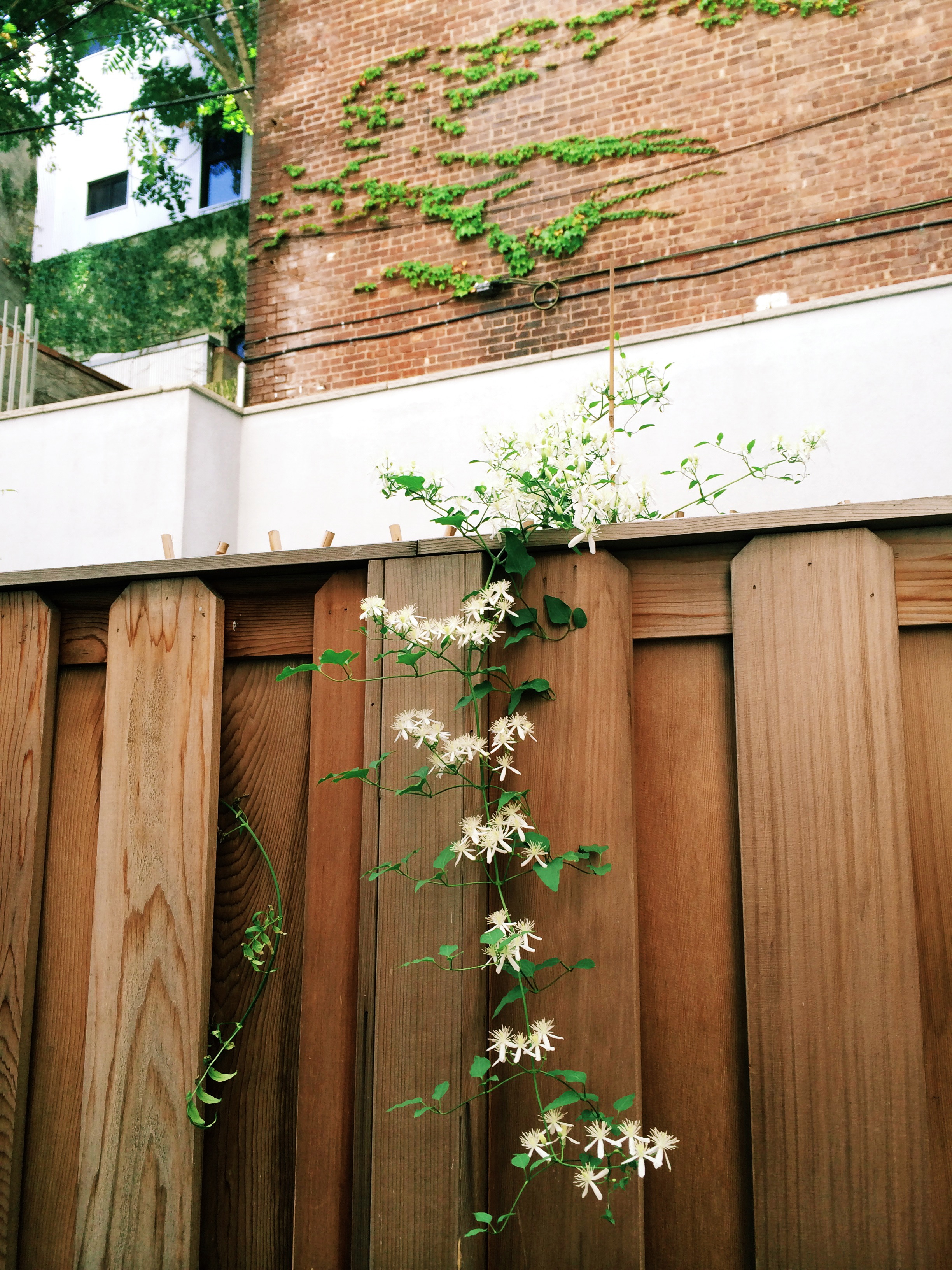 my neighbor's climbing vines are coming over the wall (free plants!).  i think these are clematis?