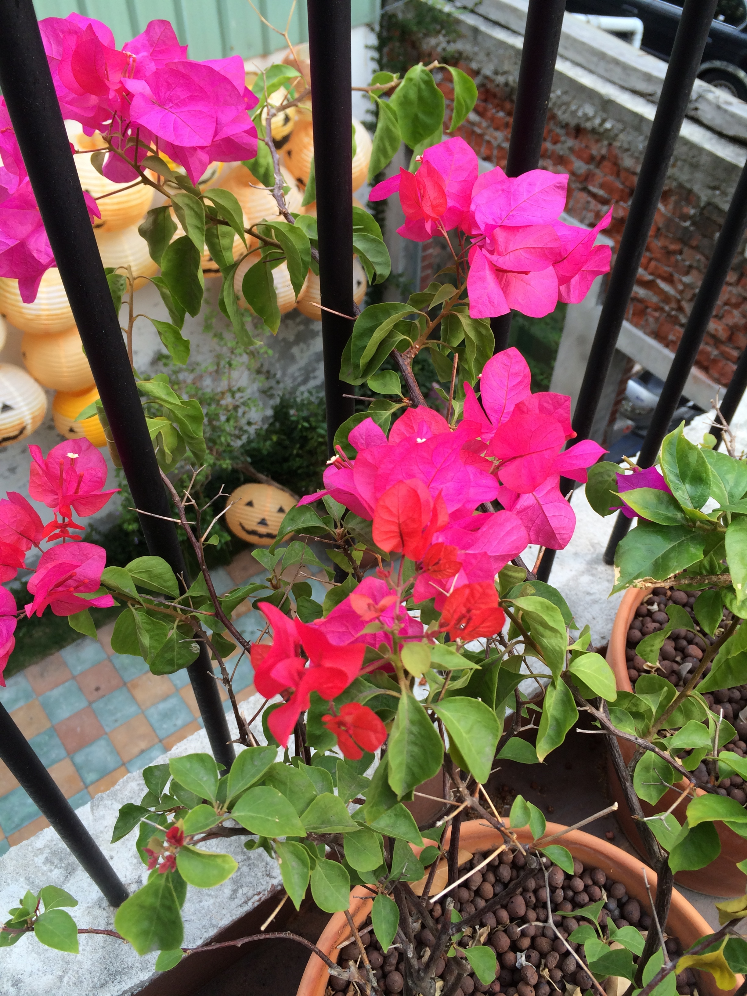 fantasy story featured blooming bougainvillea too, like everywhere else in taichung. how have i never noticed these flowers before?!