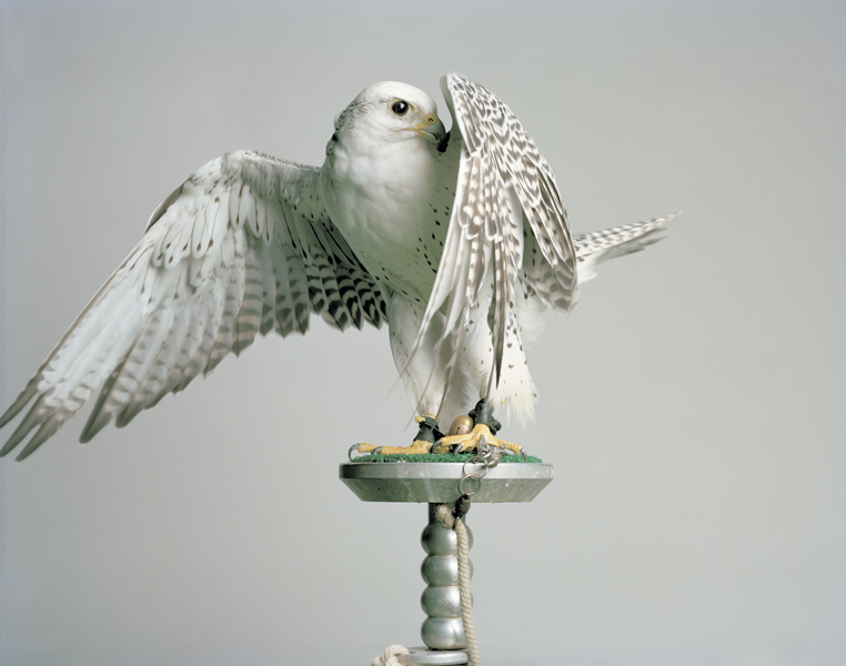 Untitled, 2011. Gyr Falcon. Pleasantville, New York,  2011 Archival digital pigment print The following work is available: 16 x 20 inches, edition of 9, 2 APs 24 x 30 inches, edition of 5, 2 APs 40 x 50 inches, edition of 3, 1 AP