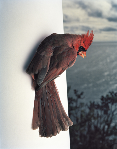Blue China, 2013. Northern Cardinal. Manomet, Massachusetts,  2013 Archival digital pigment print The following work is available: 16 x 20 inches, edition of 9, 2 APs 24 x 30 inches, edition of 5, 2 APs 40 x 50 inches, edition of 3, 1 AP