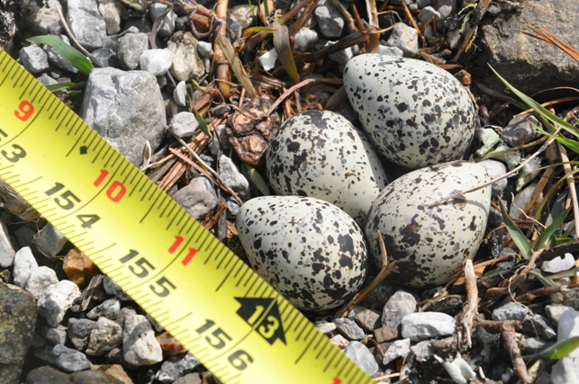 04.01.13 Killdeer Nest at Boat Ramp.jpg