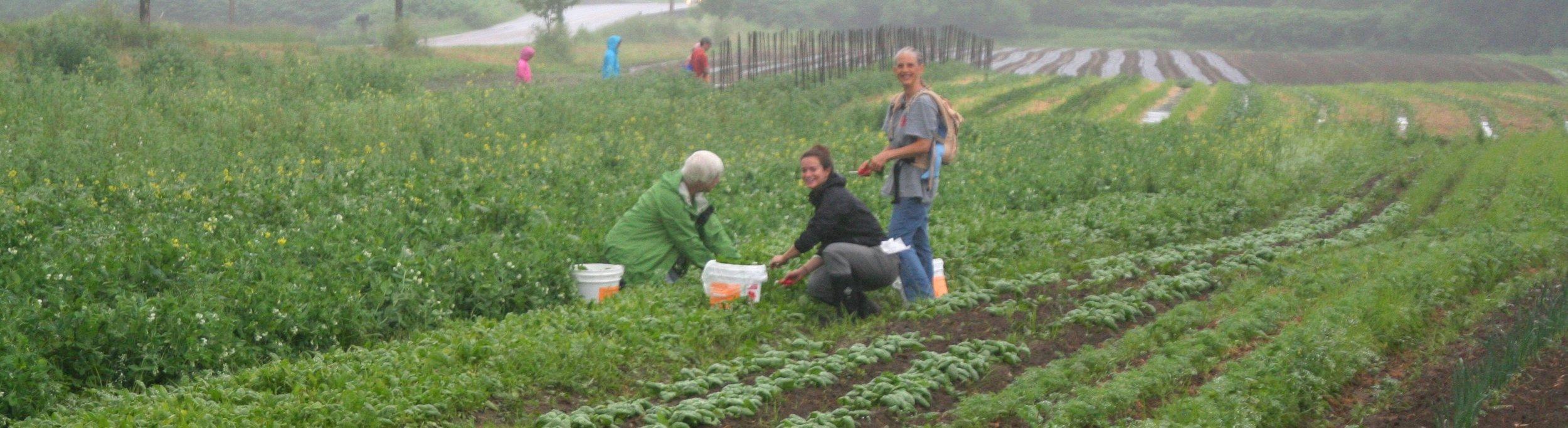 CHCV Gleaning at Dog River Farm crop.jpg