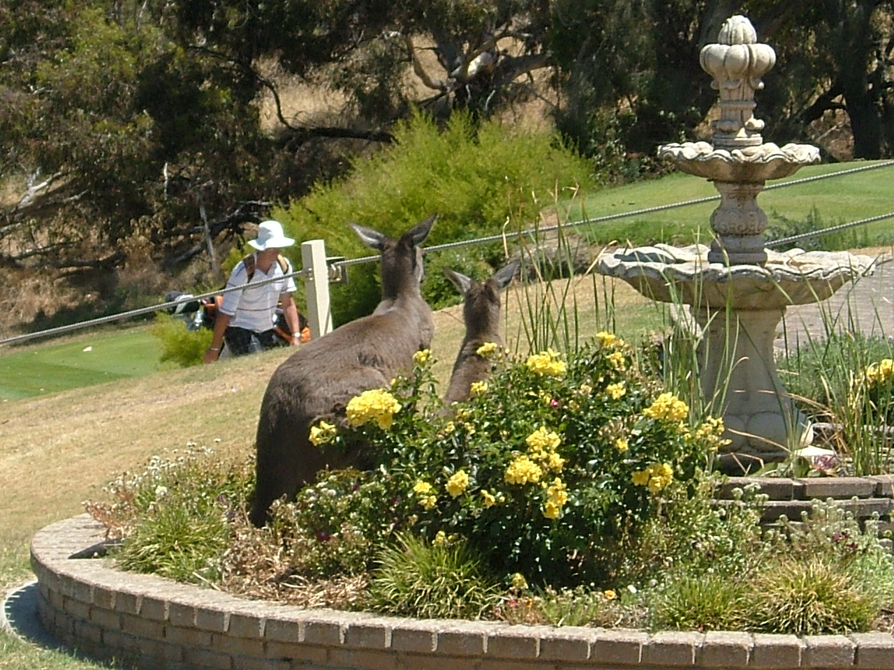 Kangaroos at the Clubhouse fountain