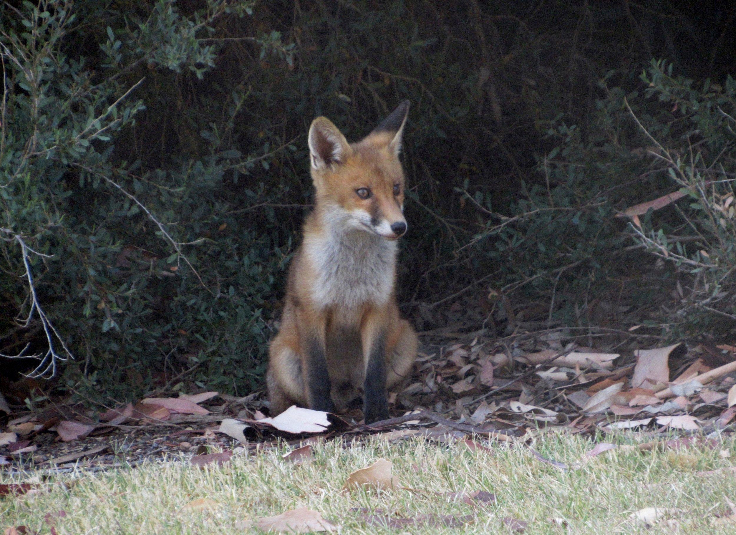 Feral Fox cub