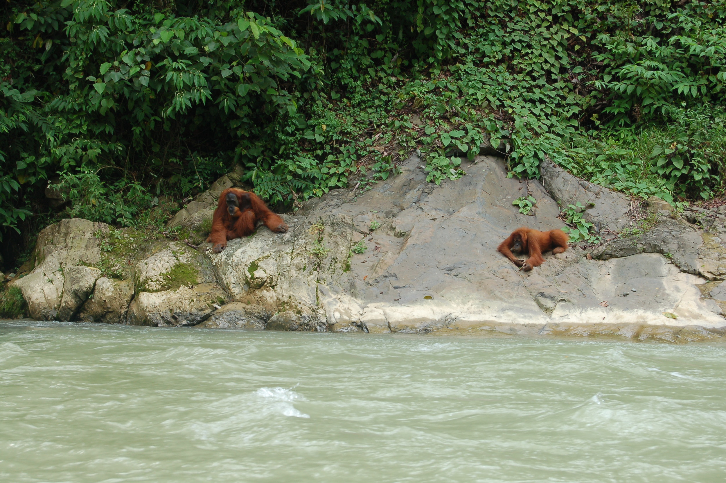 Orangutans hanging out on the riverbank